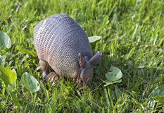 Armadillo searching for food in the field. SAO PAULO, SP, BRAZIL - JUNE 25, 2016 - Nine-banded armadillo, the most common of the armadillos, American mammal of Royalty Free Stock Images