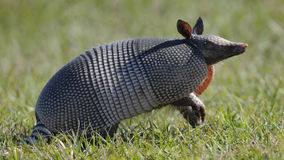 Armadillo standing in grass. Armadillo standing up in the green grass Stock Photography