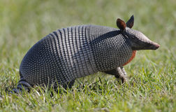 Armadillo standing in grass Royalty Free Stock Image