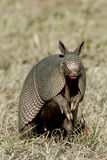 Armadillo Stands Up in the Grass royalty free stock images
