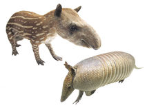 Armadillo and tapir Stock Images
