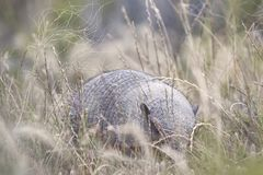 Armadillo in the Valdes Peninsula. In the Valdes Peninsula it`s possible to see the Armadillo. Peninsula Valdes in Patagonia is a site of global significance for stock images
