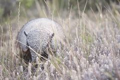 Armadillo in the Valdes Peninsula. In the Valdes Peninsula it`s possible to see the Armadillo. Peninsula Valdes in Patagonia is a site of global significance for stock photos