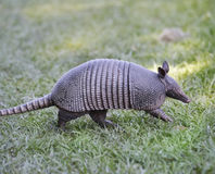 Armadillo Royalty Free Stock Image