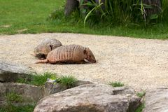 Armadillos paar. Full body of armadillos paar. Photography of wildlife Stock Images