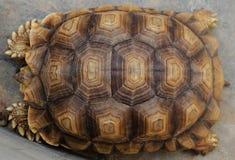 Armadura de la tortuga Fotos de archivo