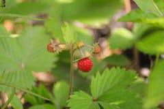 Armadura de las fresas Ria del ¡de Fragà - género de plantas herbáceas perennes de la familia rosada Fotografía de archivo