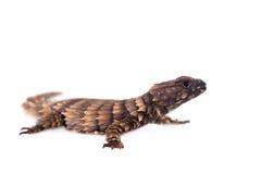 Armadyl girdled jaszczurka na bielu Zdjęcie Stock