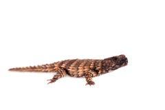 Armadyl girdled jaszczurka na bielu Fotografia Stock