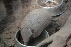 Armadyl przy zoo Obraz Stock