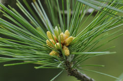 Armand's Pine Stock Photography