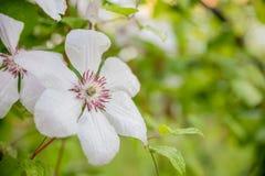 Armandii da clematite Clematite de florescência da mola sempre-verde Scented com as flores brancas pálidas bonitas arbusto de flo imagem de stock royalty free