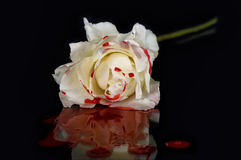 Armatni N& x27; Róże II zdjęcie stock