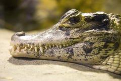 Armatura del coccodrillo del carnivoro del rettile dell'alligatore del caimano Immagine Stock Libera da Diritti
