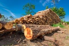 Armazenado no felling da árvore de floresta após um vendaval imagens de stock