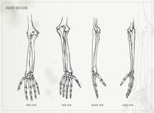 Armbågsben och radie royaltyfri illustrationer