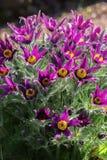 Armena Pulsatilla (Pasque) - λουλούδι άνοιξη λουλουδιών Στοκ Φωτογραφία