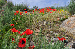 Armenia. Poppies in the Ararat Valley Royalty Free Stock Image