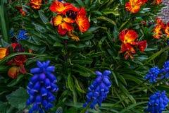 Armeniacum de Muscari de jacinthe de raisin fleurissant en premier ressort photo stock