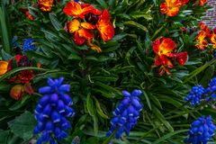 Armeniacum del Muscari del jacinto de uva que florece en primavera temprana foto de archivo