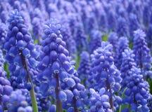 Armeniacum do Muscari ou hyacinth de uva Fotos de Stock Royalty Free