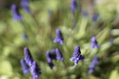 Armeniacum Muscari λουλουδιών Στοκ Εικόνες