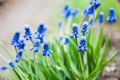 Armeniacum Muscari (μπλε υάκινθος σταφυλιών) που ανθίζει στον κήπο Στοκ Φωτογραφίες