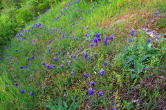 Armeniacum Muscari λουλουδιών στο λόφο Στοκ εικόνα με δικαίωμα ελεύθερης χρήσης