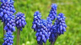 Armeniacum Muscari υάκινθων σταφυλιών που ανθίζει την άνοιξη Floral υπόβαθρο τομέων λουλουδιών Muscari Στοκ Εικόνα