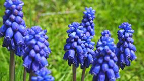 Armeniacum Muscari υάκινθων σταφυλιών που ανθίζει την άνοιξη Floral υπόβαθρο τομέων λουλουδιών Muscari Στοκ φωτογραφία με δικαίωμα ελεύθερης χρήσης