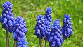 Armeniacum Muscari υάκινθων σταφυλιών που ανθίζει την άνοιξη Floral υπόβαθρο τομέων λουλουδιών Muscari Στοκ εικόνες με δικαίωμα ελεύθερης χρήσης