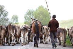 Armenian cowboy herding his cow herd. royalty free stock images
