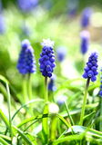 Armenian grape hyacinth Royalty Free Stock Image