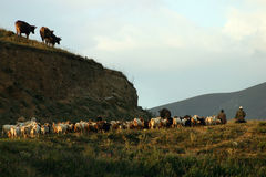 Armenian herd. With herders in mountains Royalty Free Stock Images