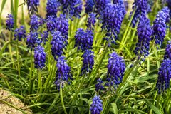 Armenian hyacinth lilac close-up. Armenian blooming hyacinth lilac among green a leaves stock photos