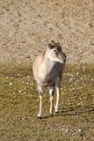 Armenian mouflon Royalty Free Stock Image