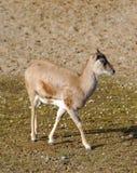 Armenian mouflon Royalty Free Stock Images