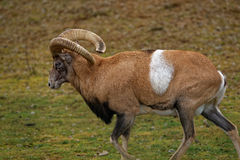 Armenian mouflon Royalty Free Stock Photos