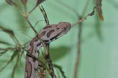 Armenian viper  in tree Stock Photo