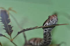 Armenian viper  in tree 2 Stock Image