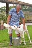 Armer που ταΐζει μια άσπρη αγελάδα Στοκ Φωτογραφίες