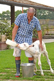Armer feeding a white cow Stock Photos