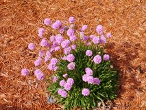 Armeria alpina Stock Photo