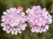 Armeria macrophylla flower Stock Photography