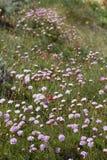 Armeria macrophylla flower Royalty Free Stock Photo