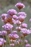 Armeria macrophylla flower Royalty Free Stock Photos