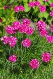 Armeria marítimo (maritima latino, Plumbaginaceae do Armeria do nome) Imagens de Stock