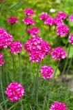 Armeria marítimo (maritima latino, Plumbaginaceae do Armeria do nome) Fotografia de Stock Royalty Free