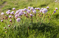 Armeria Maritima Royalty Free Stock Photography