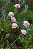 Armeria maritima Stock Photography